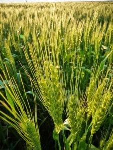 GM wheat contamination