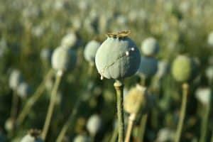 captagon opium