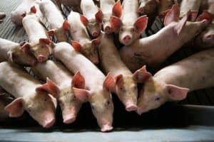 vaccine animal cells pigs
