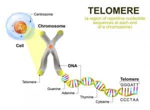 telomere C60