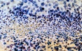 inner terrai bacteria